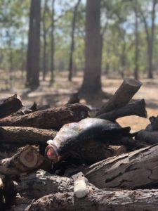 A barramundi fish lies across a pile of wooden logs